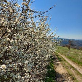 Blüte unterhalb von Nörtershausen mit Blick auf die Mosel.