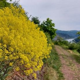 Gelbe Pracht auf dem Moselpanoramaweg.