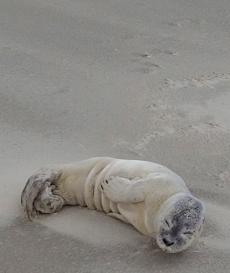 Schlafender Heuler am Strand