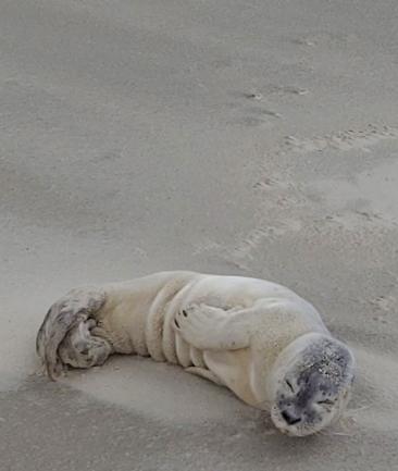 Schlafender Heuler am Strand von Juist.