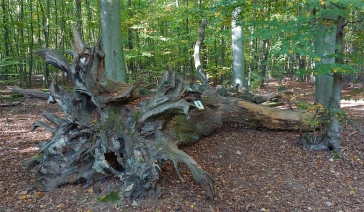 "Der ""Monstranzenbaum""."